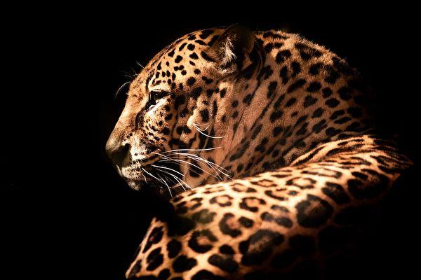攝影師靜候六天 成功捕捉雙豹罕見「靚照」