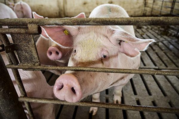 日本一猪场爆发猪瘟 将扑杀5400头猪