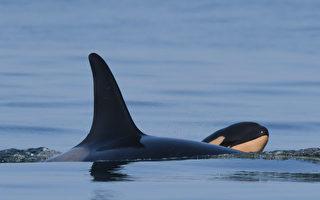 曾携幼崽尸体游17天 虎鲸妈妈喜迎新幼鲸