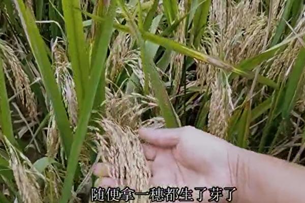 中共一号文件称去年粮食增产 分析:数字造假