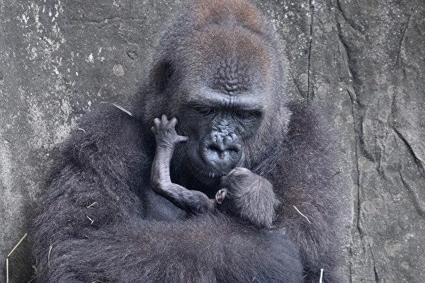 痛心! 极度濒危大猩猩宝宝出生仅六天夭折