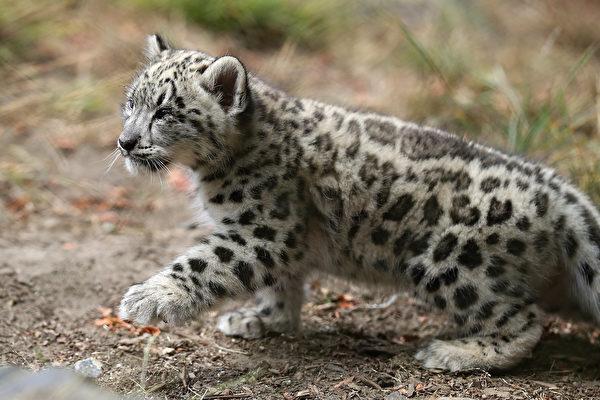 美国动物园小雪豹首度亮相 像猫一样可爱