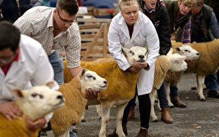 世界上最貴的羊 36.8萬鎊英國拍賣