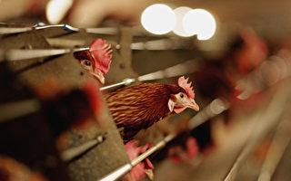 宁夏出现H5N8亚型高致病性禽流感