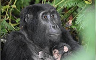 瀕危物種 烏干達山地大猩猩迎來「嬰兒潮」