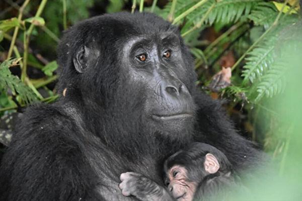 """濒危物种 乌干达山地大猩猩迎来""""婴儿潮"""""""