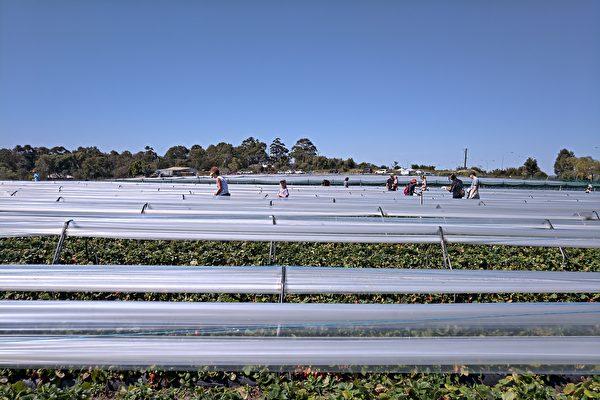 西澳政府百万澳元计划 帮农场招外劳