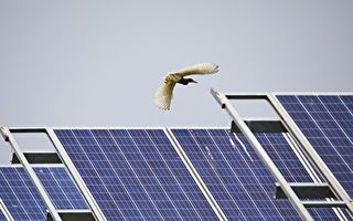 为什么鸟一直撞上太阳能板