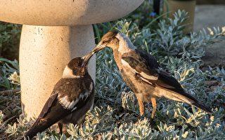 以歌声闻名的澳洲喜鹊 雌雄调不同