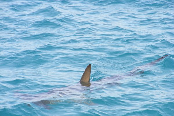 丈夫遭鲨鱼攻击 怀孕妻子跳海将他救回来