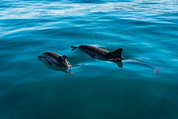 海豚媽媽絕食多日 在海面上輕推寶寶的屍體