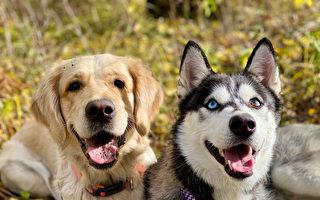 定力考验:哈士奇和黄金猎犬谁会偷吃烤鸡?