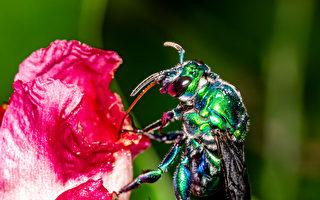 这种蜜蜂不筑巢不酿蜜 只爱穿华服和喷香水