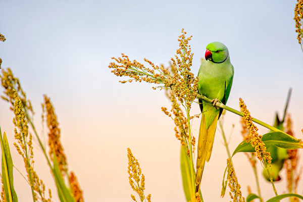 印度农民以半英亩土地种农作物养野鸟