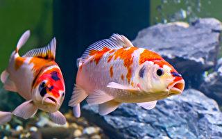 日本養殖達人 培育190萬美元世界最貴錦鯉