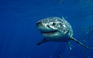 超惊险 无人机助澳前冲浪冠军鲨口逃生