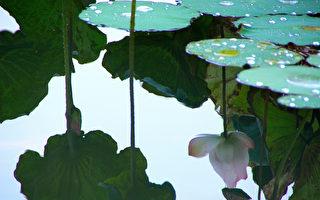 荷花 莲花 花卉 植物
