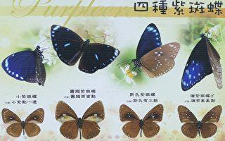 東北風漸起 高雄茂林相遇紫斑蝶