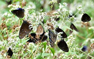 东北风渐起 高雄茂林相遇紫斑蝶
