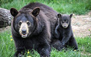 兩日獵殺黑熊135隻 動物保護組織誓言提訴