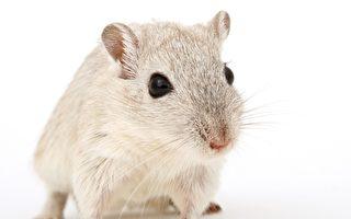 中共军医让公鼠怀孕产幼鼠 网友惊呼:恐怖