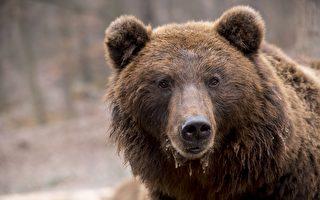 身如747 美國家公園胖熊比賽冠軍出爐