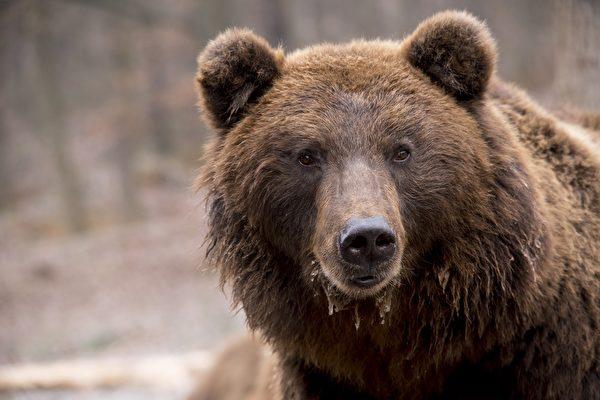 身如747 美国家公园胖熊比赛冠军出炉