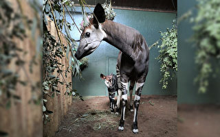 長頸鹿近親 英國喜迎長相獨特的霍加狓幼崽