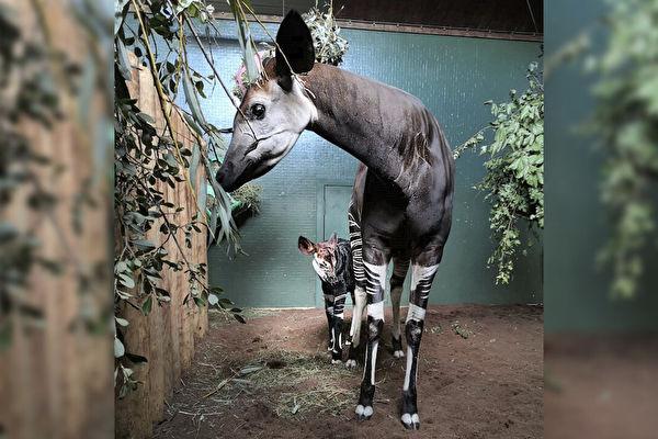 长颈鹿近亲 英国喜迎长相独特的霍加狓幼崽