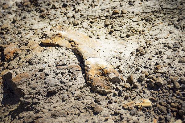 超罕見 加國12歲男孩發現幼年鴨嘴龍化石