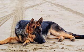 被主人打毒针并活埋 小狗自己挖开坟墓逃出