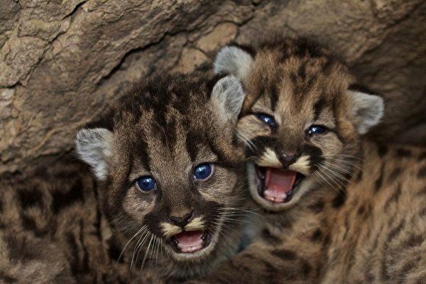 野火中救出三隻小美洲獅 美動物園精心照護