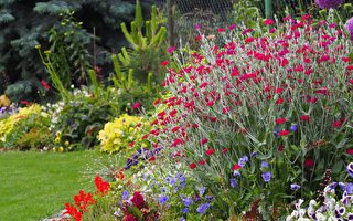 12种漂亮的银叶植物点亮你的花园(下)
