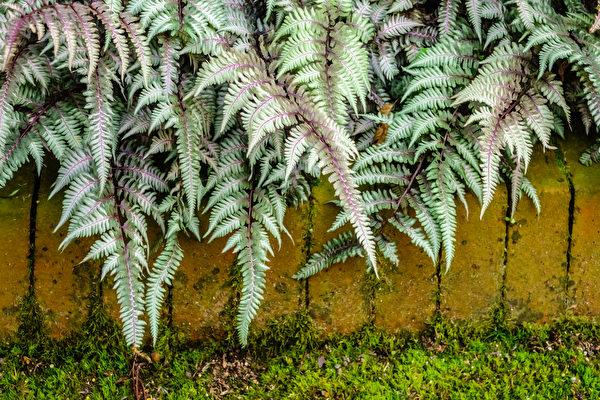 12種漂亮的銀葉植物點亮你的花園(上)