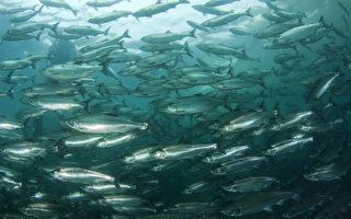 无人机拍到惊人照片:心形鲑鱼群包围鲨鱼