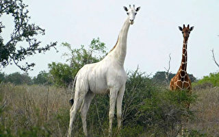 全球最後一隻白色長頸鹿 加裝GPS追蹤器