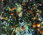 受疫情影响 武汉种植户橘子严重滞销
