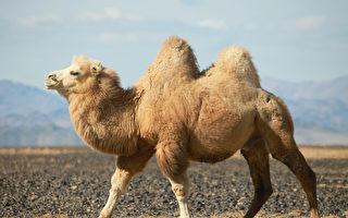 駱駝的駝峰是用來儲存水分的嗎?