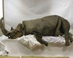 保存相當完好 西伯利亞出土冰凍數萬年披毛犀