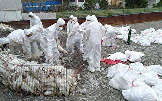 屏东2肉鸭场感染禽流感 扑杀9000只鸭