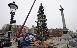 组图:疫情下伦敦特拉法加广场迎接圣诞树