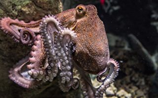 奇特畫面:章魚用2條腿在海床上走路