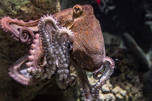 奇特画面:章鱼用2条腿在海床上走路
