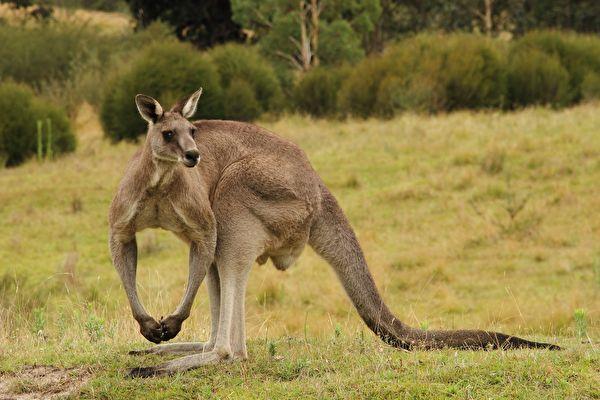为了保护孩子 澳洲男子被巨大袋鼠击倒在地