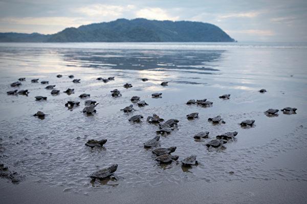 巴西数万只淡水龟在沙地上孵化 密密麻麻一片