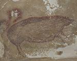 4.55萬年前的疣豬 印尼發現最古老動物壁畫