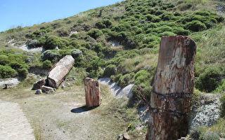 希腊出土2000万年前罕见化石树