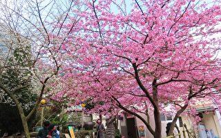 【视频】樱梅绽放 台阿里山区樱王和梅花之美