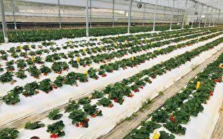 億光研發草莓專用轉色燈 顏色轉紅比率增三成