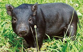 凍存15年 蘭嶼豬穿越前世「精」生仔豬14頭